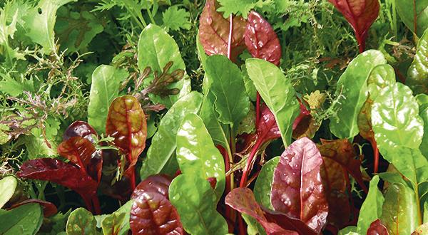 Ausschnitt eines Salatbeetes mit verschiedenen Schnittsalaten samt Mangold   Foto: Harald Rammel