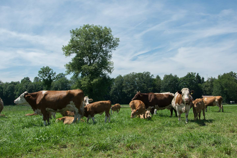 Rinder Stehen Auf Einer Wiese