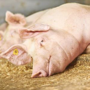 Ländle Schwein, Foto: LQM