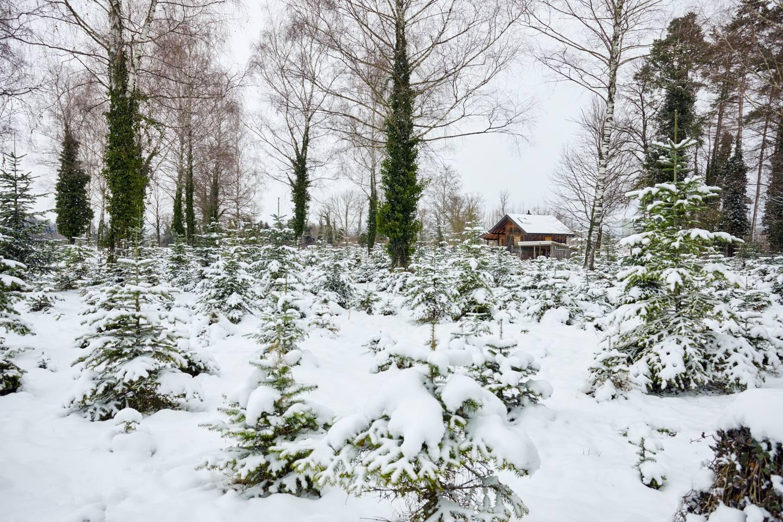Auf Dem Bild Ist Eine, Mit Schnee Bedeckte Christbaumplantage Zu Sehen