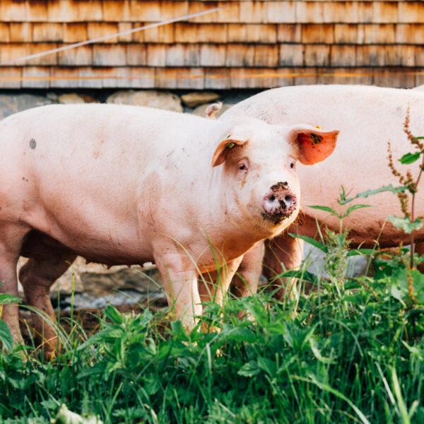Vier Ländle Alpschweine der Alpe Kassa Wildmoos stehen im Außengehege im Gras.