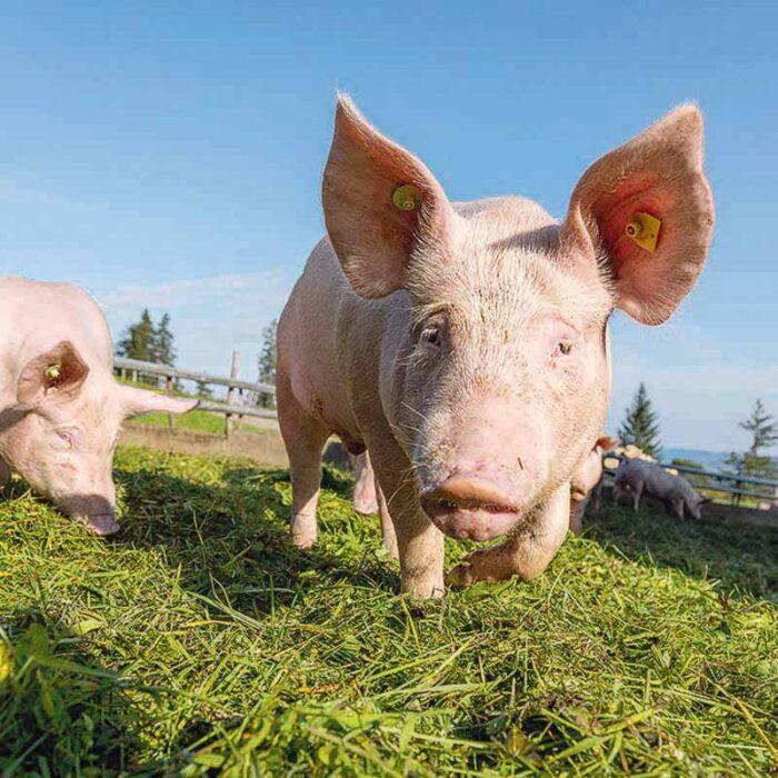 Alpschweine auf der Alpe Andlis Brongen