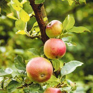 Ländle Äpfel Am Baum
