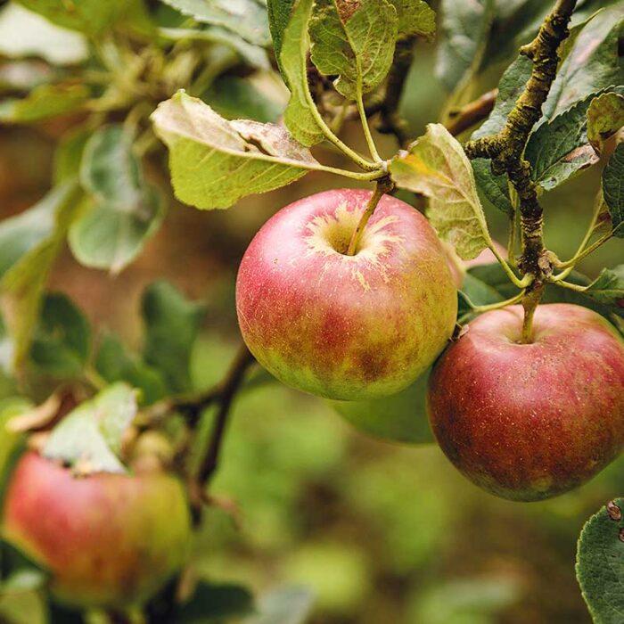 Ländle Äpfel am Baum Nahaufnahme