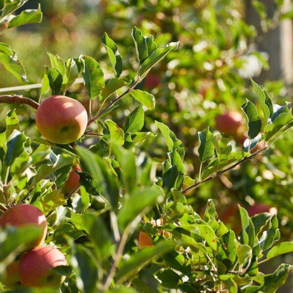 Auf dem Bild sind mehrere Äste eines Apfelbaums mit Äpfeln zu sehen